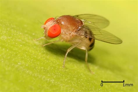 fruit flies in my room brain compass keeps flies on course even in the