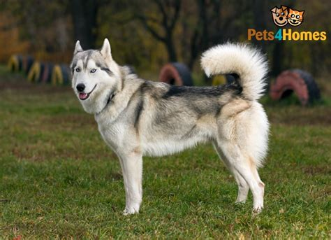 husky breed siberian husky breed information buying advice photos and facts pets4homes