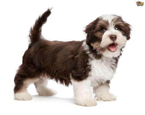 dogs havanese caring for a havanese pets4homes