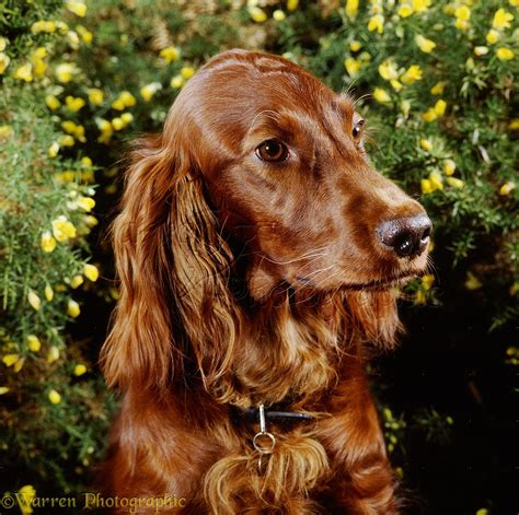irish setter definition irish setter wallpapers hd download