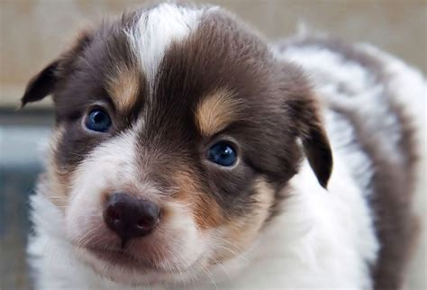 rent puppies for a puppies for rent the surprising world of puppy temps rover