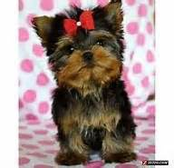 yorkie teady bear hair cut 1000 images about yorkie haircuts on pinterest yorkie