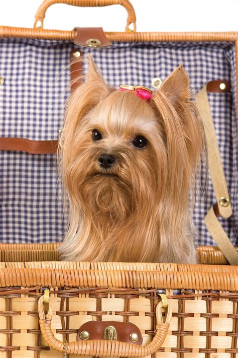 how to cut a skye terriers hair 311 best images about yorkshire hair cut on pinterest