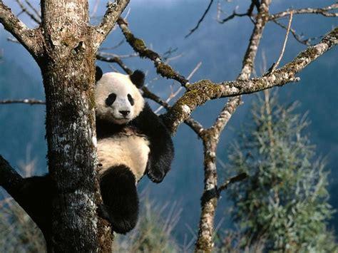 libro oso panda oso panda donde viven los osos panda que comen como nacen