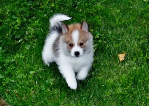 pomsky puppies for sale in illinois pomsky puppies for sale illinois design breeds picture