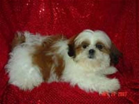 shih tzu illinois illinois breeders puppies for sale