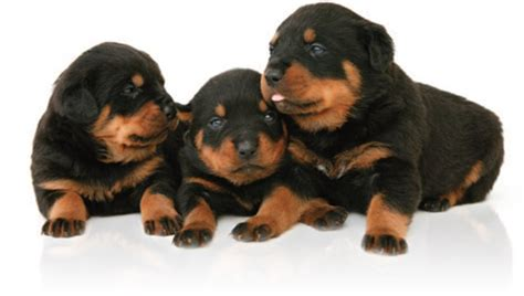 adopt rottweiler puppies rottweiler puppies for adoption bazar