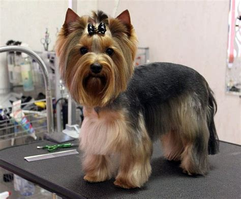 yorkies hair cut yorkie haircuts
