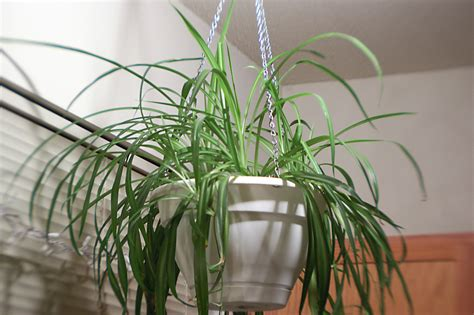 Spider Plant Low Light | apartment living 101 the 10 best plants for apartment dwellers 6sqft