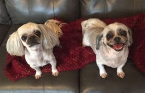 shih tzu rescue san antonio shih tzu for rehoming assistedlivingcares