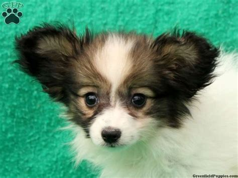 papillon puppies for sale in pa papillon puppies for sale in pa dogs papillons puppys and