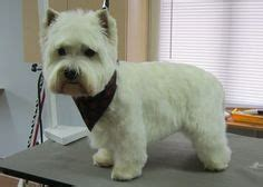 pictures of haircuts for westies dogs 1000 images about pet grooming on pinterest pet