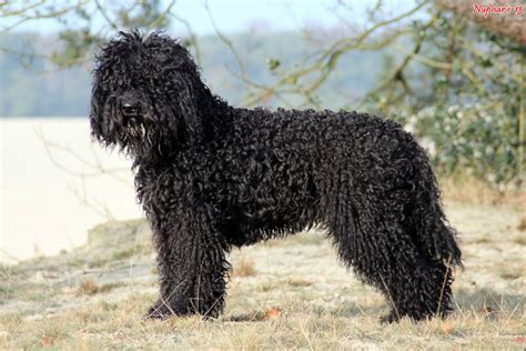 barbet puppies barbet breed information american kennel club