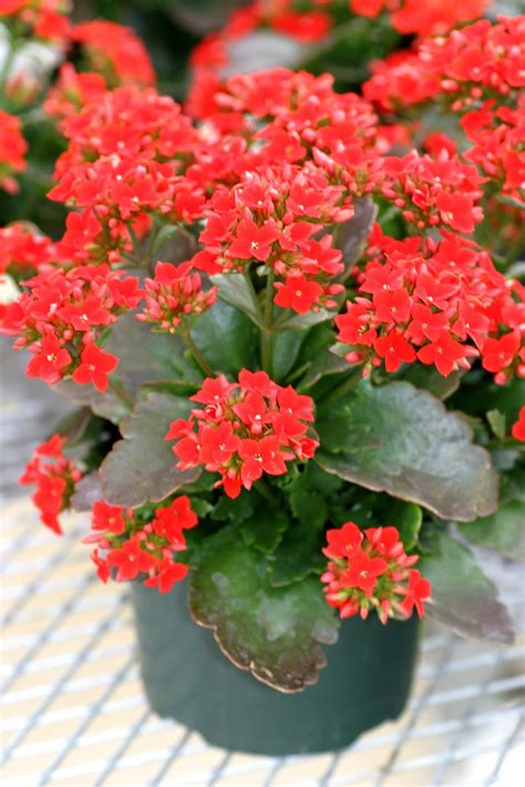 blooming plants buy kalanchoe online free shipping over 99 99