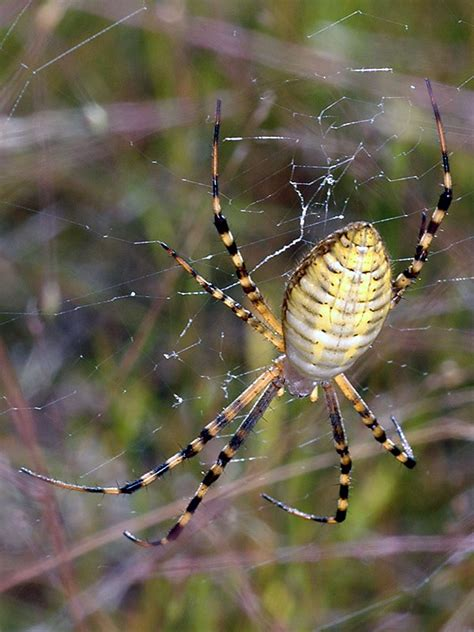 Banded Garden Spider Cycle Bugs