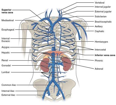 anatomy of a anatomy of inferior vena cava inferior vena caval thrombosis human anatomy chart