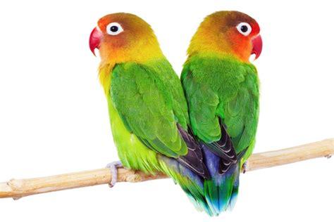 petmania tamed birds love birds