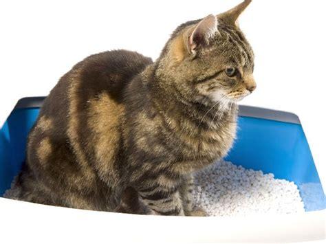 lettiere per gatti la lettiera gatto