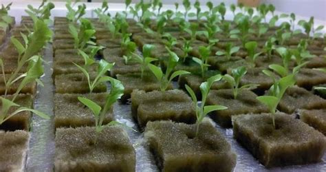 Media Tanam 8 menanam tanaman di media taman rockwool halo kebunku