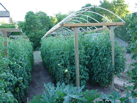 here is a great way to grow a lot of tomatoes in a small area love the trellises pinterest