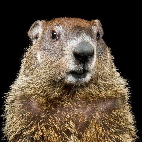 the groundhog day groundhog national geographic