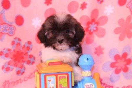 havanese puppies southern california havanese puppy pictures havanese breeders pictures havanese puppies in