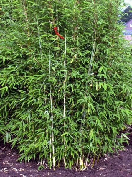 Fargesia Robusta Cbell Kaufen 33 by Fargesia Green 174 Den Grasgr 252 Nen M 228 Hnenbambus Kaufen