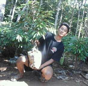 bibit buah durian unggul bibit durian bawor asli