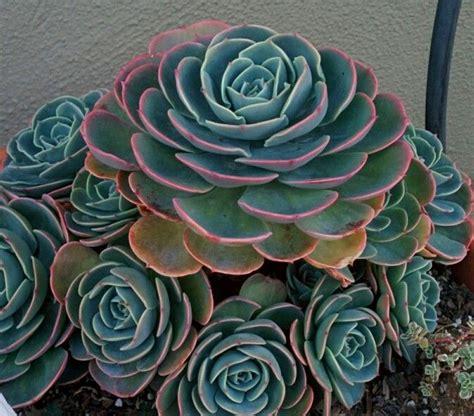 Echeveria imbricata quot blue rose quot sarah s succulents pinterest
