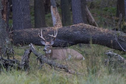 how to find deer bedding areas how to find deer bedding areas 28 images find these 6
