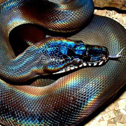 python colors white lipped python snakes colors awesome