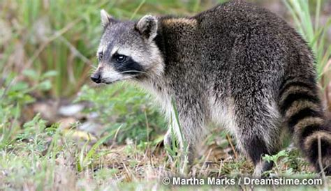 what color are raccoons raccoon wildlife new hshire fish and department