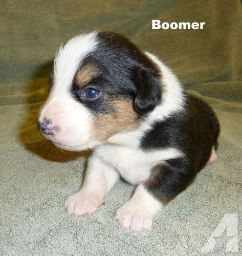 augie puppies for sale augie puppies cardigan corgi mini aussie registered for sale in stephenville