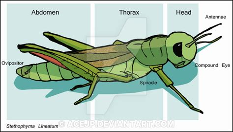 diagram of a grasshopper with label grasshopper diagram by acejp on deviantart