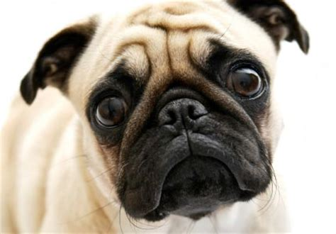 pug breed dogs pug breeds wallpapers