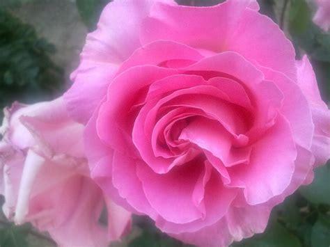 imagenes de flores rosas el buen comer flores bonitas rosas