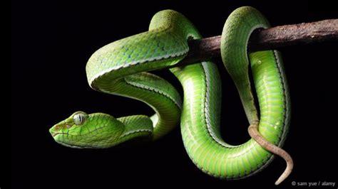 Sprei Borneo today az what were the legendary snakes of