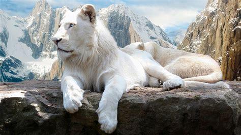 film white lion 2010 wei 223 er l 246 we auf dem felsen hd desktop hintergrund mit