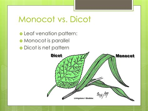 leaf pattern of dicots monocot vs dicot ppt video online download
