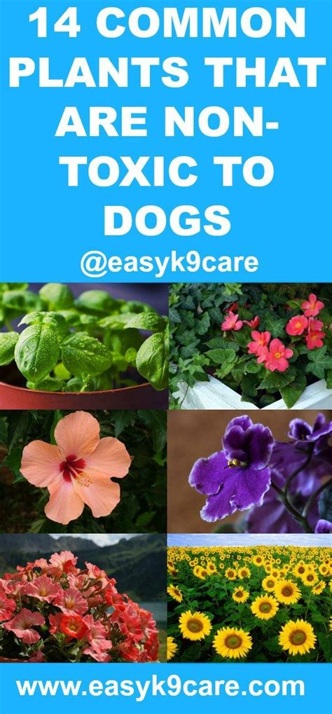 what plants are poisonous to dogs 14 common plants that are non toxic to dogs chicas