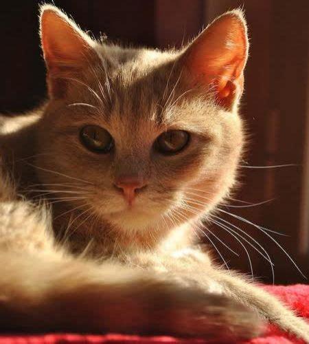 cucciolissimi org cucciolissimi smarrito gatto cucciolissimi org cucciolissimi smarrito gatto cipria