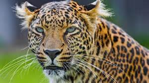 What Is The Difference Between A Leopard And A Jaguar What Is The Difference Between A Cheetah And A Leopard