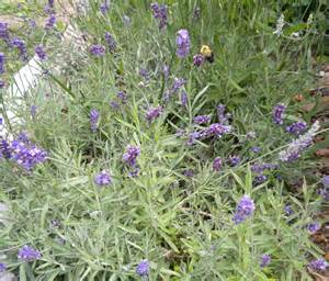 lavandula information on the lavender genus