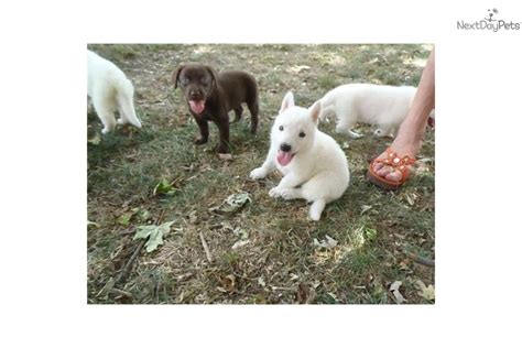 lab puppies for sale in illinois labrador retriever puppies for sale in chicago il illinois puppy lab breeds picture