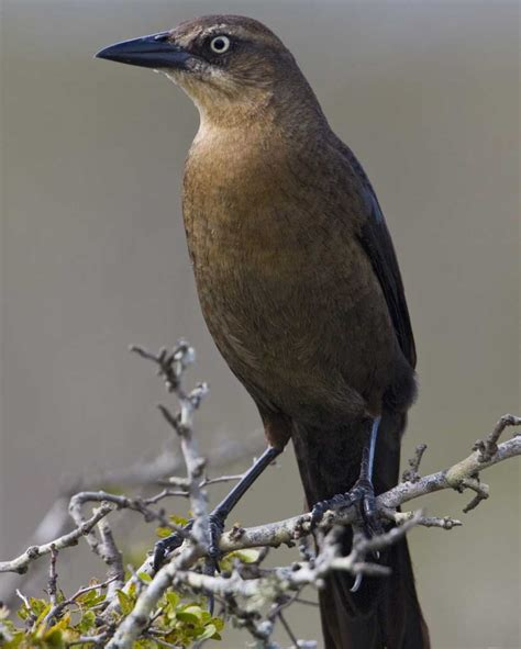 male boat names great tailed grackle audubon field guide
