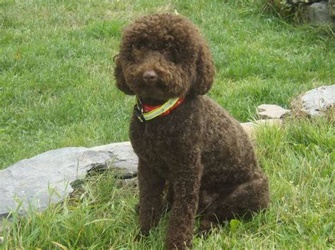 chocolate poodle puppy chocolate poodle puppy pictures chocolate miniature poodle for stud