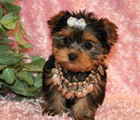 teacup yorkies for sell best 20 teacup yorkie for adoption ideas on