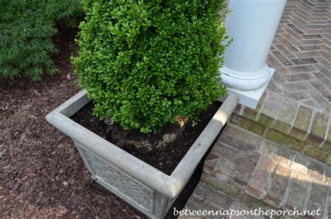 Boxwoods In Planters by Pyramidal Boxwood Topiaries In Containers For A