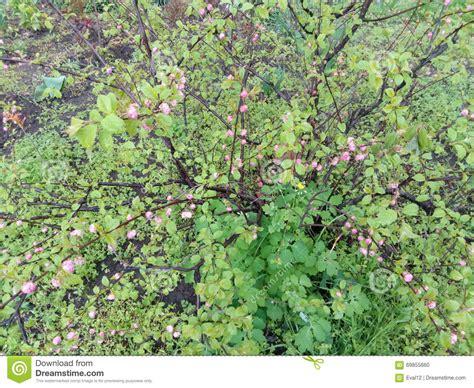arbusto fiori viola arbusto verde con le piccole foglie ed i fiori viola