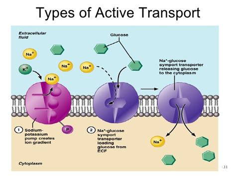transport across the plasma membrane flashcards easy